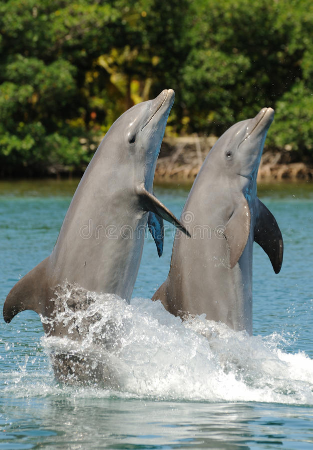 Bottlenose Dolphin Pair. Performing a backwards tail walk royalty free stock photo