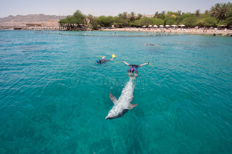 Bottlenose dolphin swimming with divers royalty free stock photos
