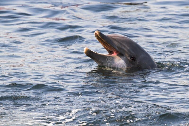 Bottlenose dolphin or Tursiops truncatus royalty free stock photography