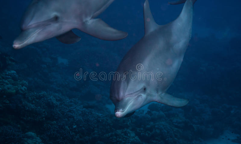 Bottlenose dolphin. Two bottlenose dolphin with and close up on one of them and corals in the background royalty free stock photos