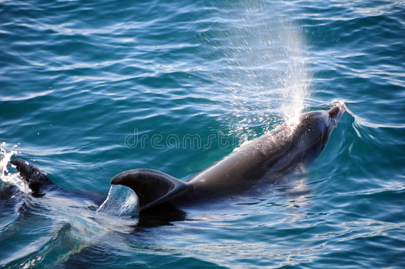 Bottlenose Dolphins stock images