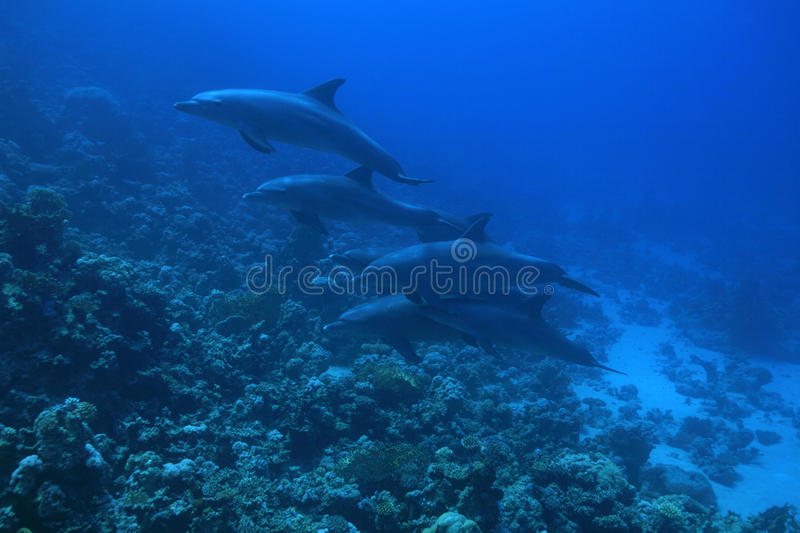 Bottlenose dolphins royalty free stock photography