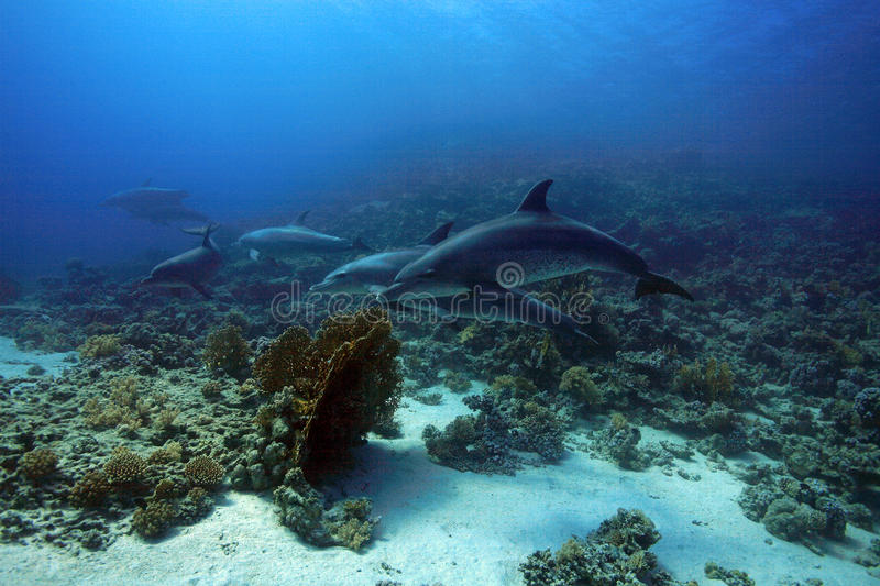 Bottlenose dolphins. In the red sea stock photo