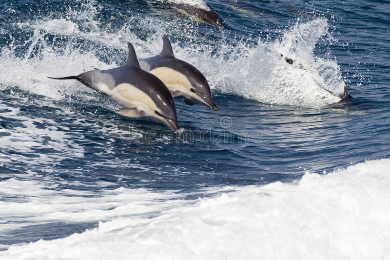 Bottlenose Dolphins Leaping stock images