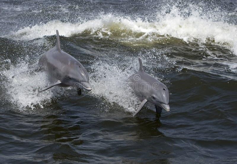 Bottlenose Dolphins (Tarsiops Truncatus) Stock Photo