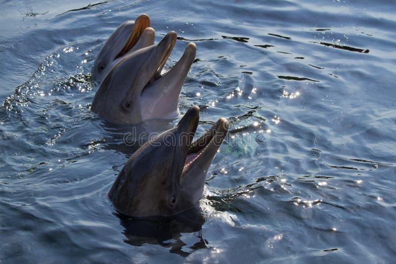 Bottlenose dolphins or Tursiops truncatus stock images