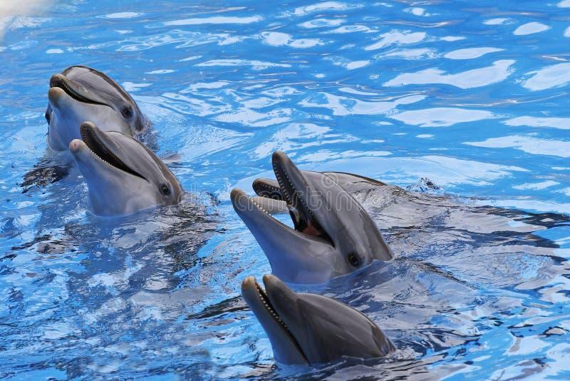 Bottlenose Dolphins, Tursiops truncatus stock images