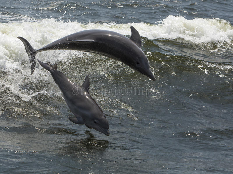 Download Bottlenose Dolphins (Tursiops Truncatus) Stock Photo - Image of family, florida: 32037182