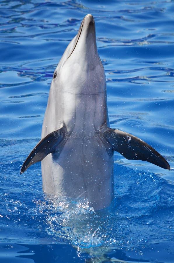 Bottlenosedelfin i vatten arkivbild