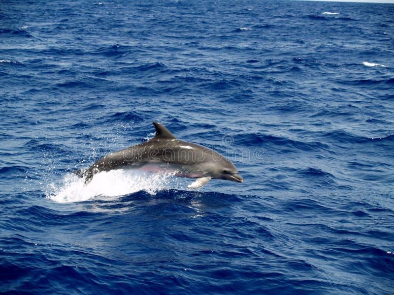 Bottlenosedelphin stockfotografie