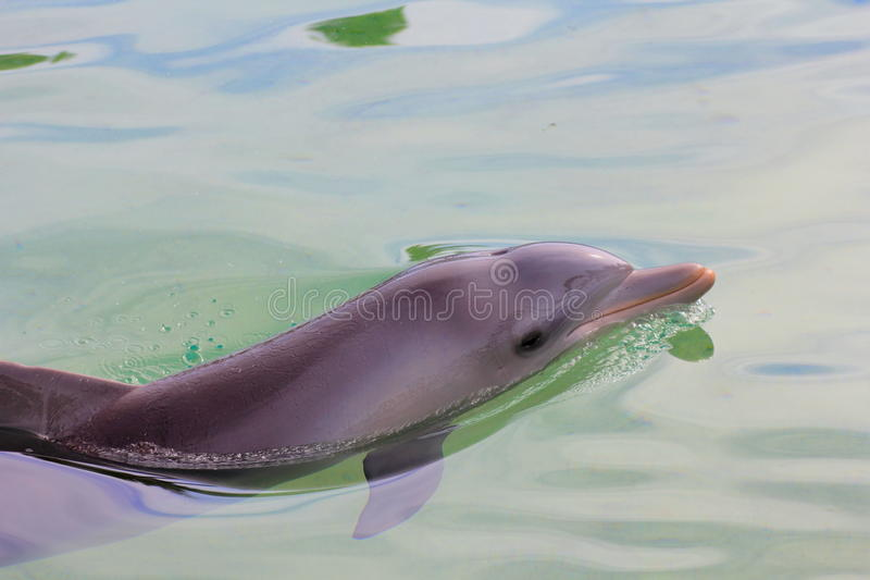 Bottlenosedelphin entspannt lizenzfreie stockfotografie