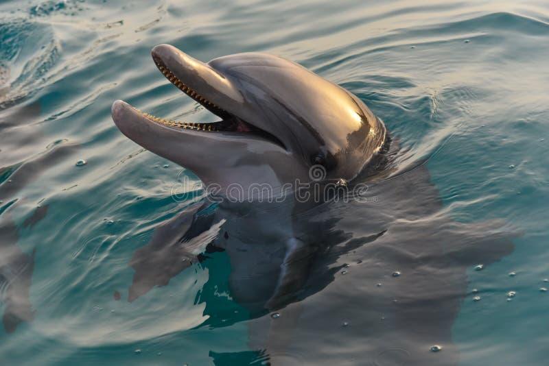Bottlenosedelphinnahaufnahme stockfotos