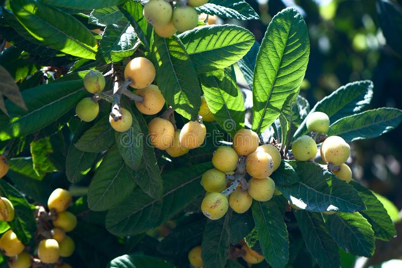 close up of a medlar tree with fruits royalty free stock image