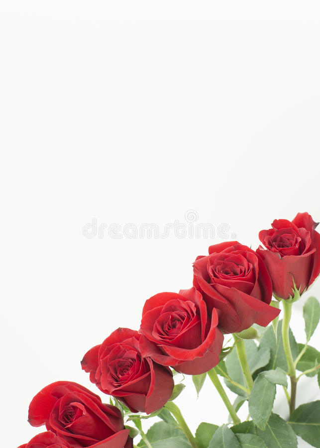 Bottom right corner row of roses. A row of beautiful dark red roses that in the corner on the right side of the image. the buds are close to each other as side royalty free stock images