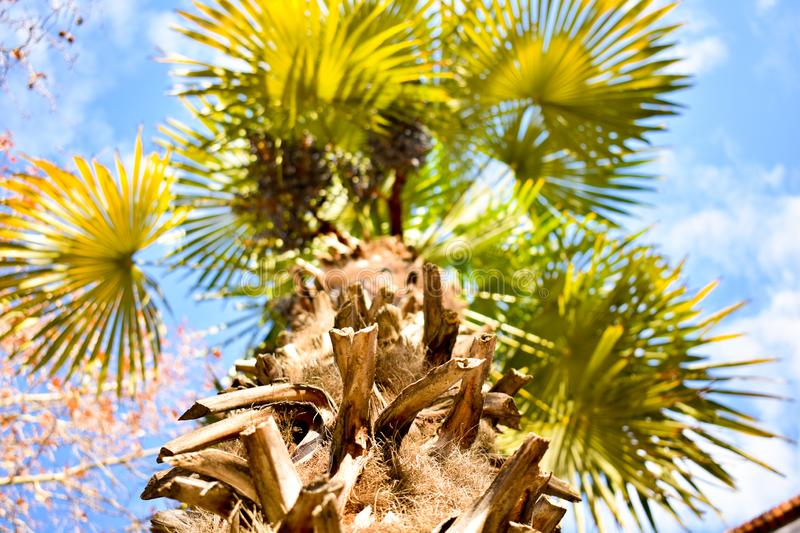 Bottom top photo throughout the brown log of a a palm tree to many branches with many green leaves open to the blue sky with. Little small clouds in a sunny day stock photos