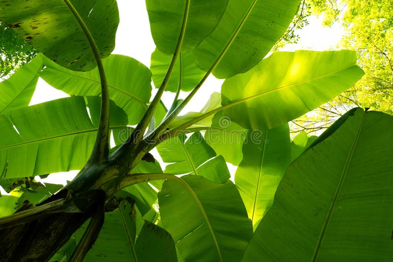 Bottom view of banana leaf background.forest and environment concept. Abstractagriculturebackgroundbackgroundsbanana royalty free stock photos