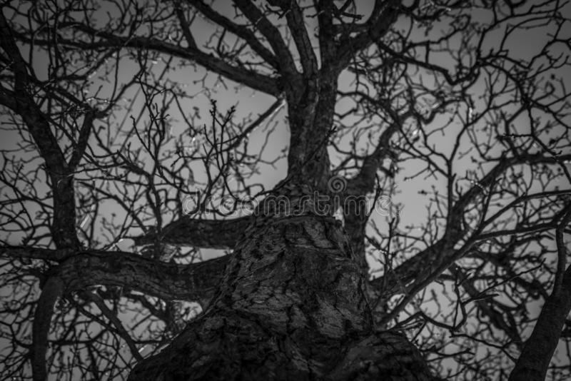 Bottom view of leafless tree. Looking up view of dead tree. Silhouette dead tree on dark dramatic sky background for scary stock photography