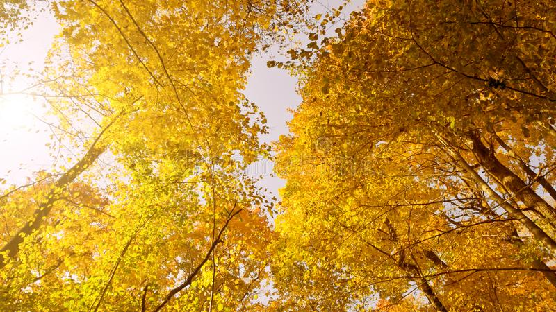 Bottom view of the lush bright yellow autumn foliage of trees and the rays of the sun against the sky.  stock photos