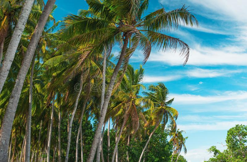 Bottom view of coconut palm trees forest in sunshine. Palm trees against a beautiful blue sky. Travel concept stock images