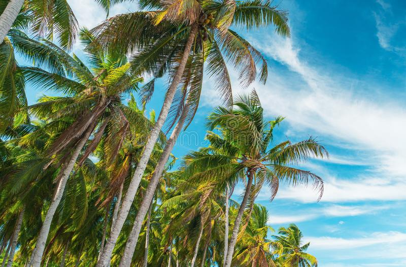 Bottom view of coconut palm trees forest in sunshine. Palm trees against a beautiful blue sky. Travel concept. Bottom view of palm trees against a beautiful blue royalty free stock image