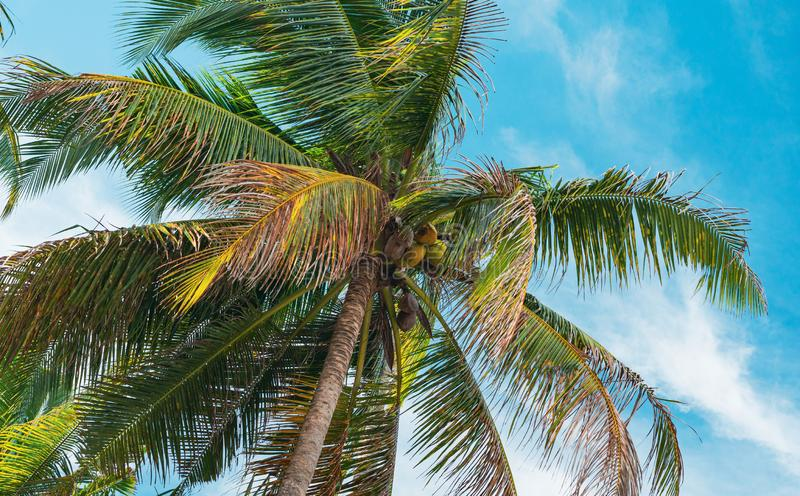 Bottom view of coconut palm trees forest in sunshine. Palm trees against a beautiful blue sky. Travel concept. Bottom view of palm trees against a beautiful blue royalty free stock photography