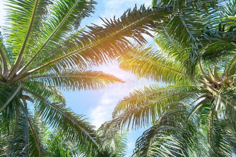 Bottom view of palm trees with blue sky, Palm trees at tropical. Beach stock photography