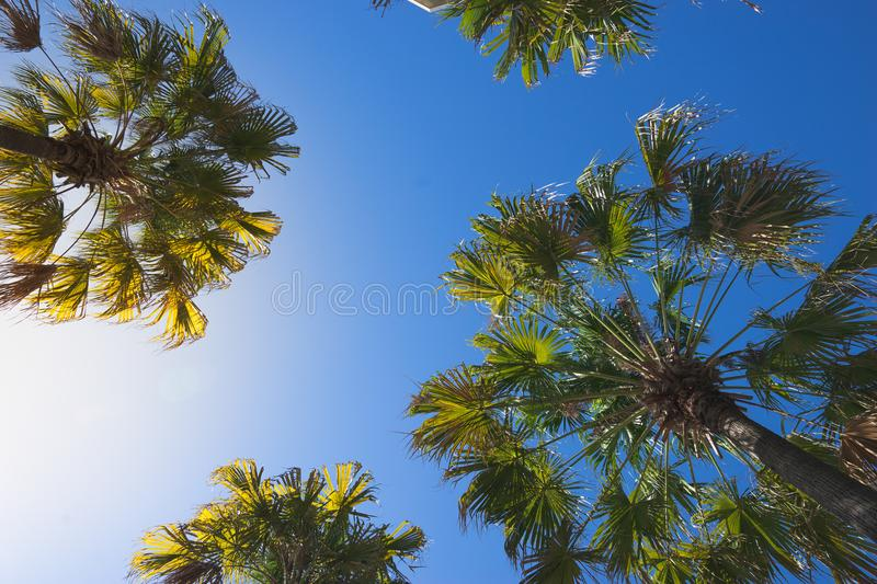 Bottom view of palm trees on clear blue sky,. Tropical summer royalty free stock photo