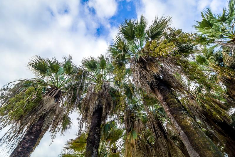 Bottom view palm trees. In front of the blue sky royalty free stock photo
