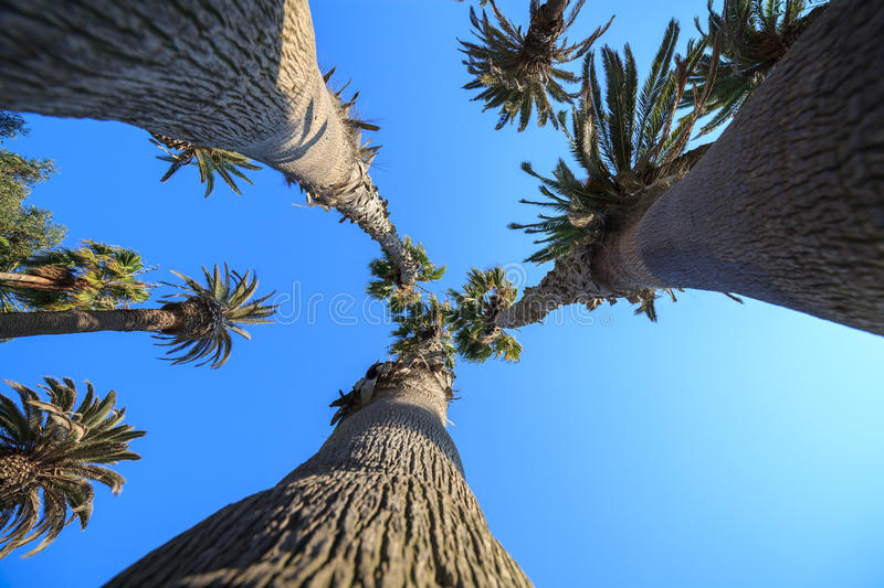 Bottom view on palm trees. Santa Monica beach, CA stock photography