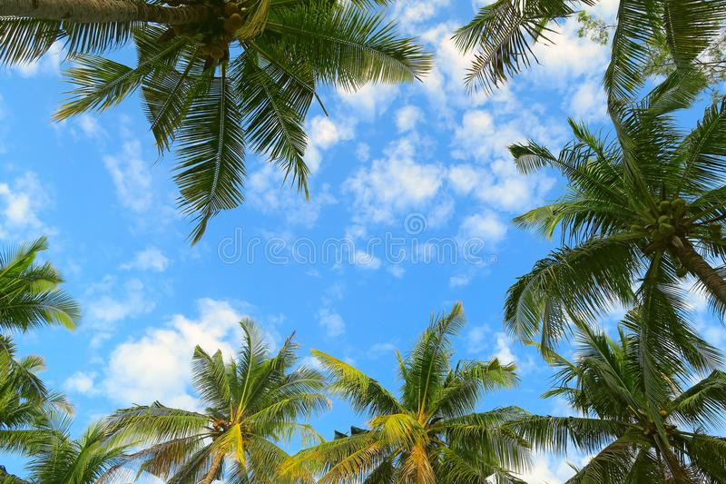 Bottom view of palm trees tropical forest at blue sky background.  royalty free stock photo