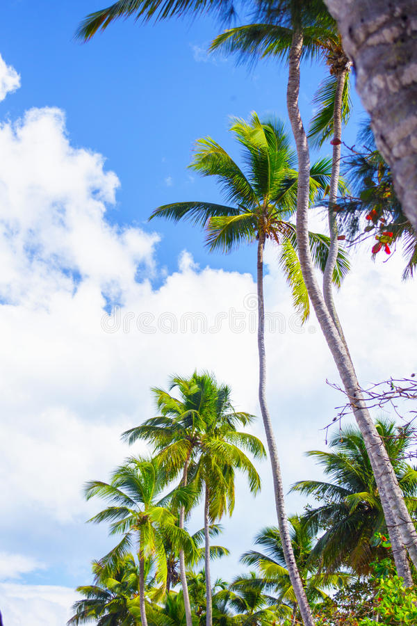 Bottom view of the palm trees. Tropical landscape. Bottom view of the palm trees on background of bright blue sky stock image