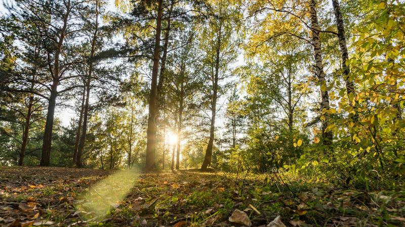 Bottom view of pine trees from path and sunshine in autumn forest, Tomsk, Siberia. Bottom view of pine trees from path and sunshine in autumn forest, Tomsk royalty free stock images