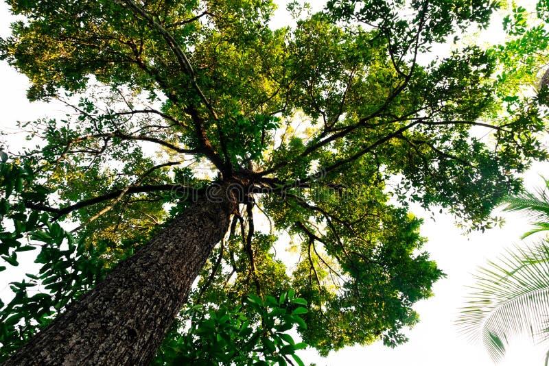Bottom view of Resak Tembaga tree in jungle and lighting of morning.forest and environment concept. Adventurebackgroundbeautifulbigblurredbottom viewbottom stock photography