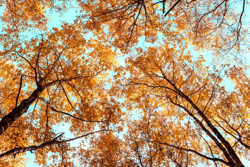 Bottom view on the tall birch trees in the golgen autumn forest under blue sky. Indian summer stock photo