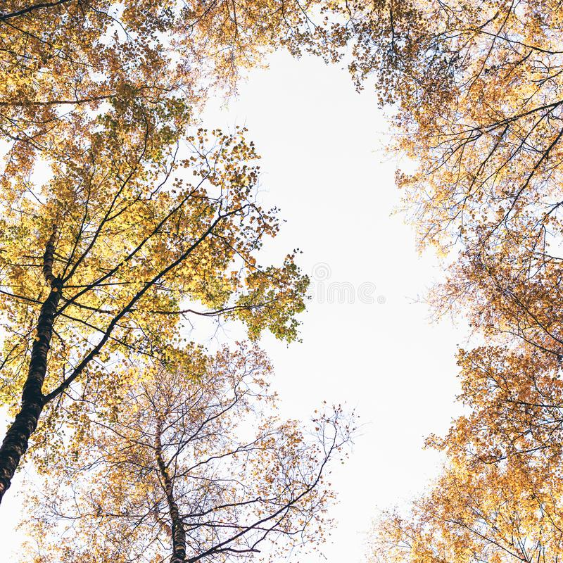 Bottom view on the tall birch trees in the golgen autumn forest under blue sky. Indian summer. Instagram style.Toned. Copy space royalty free stock photos