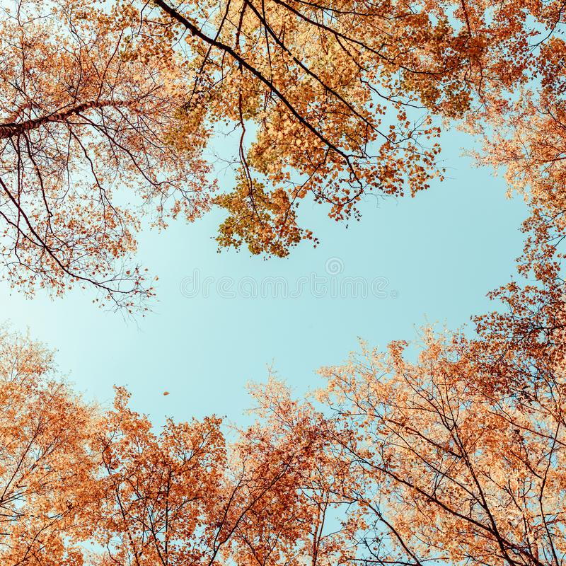 Bottom view on the tall birch trees in the golgen autumn forest under blue sky. Indian summer. Instagram style.Toned. Copy space stock photos