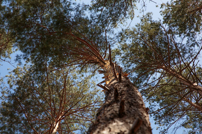 Bottom view of tall old pine trees in forest . Blue sky in background. royalty free stock images