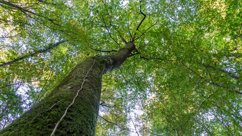 Bottom view to the treetop of tall big tree in forest. Sochi, Russia stock image