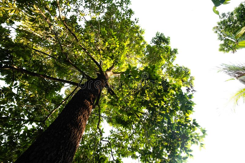 Bottom view of  tree in jungle and lighting of morning.forest and environment concept. Adventurebackgroundbeautifulbigblurredbottom viewbottom forestbottom royalty free stock photography