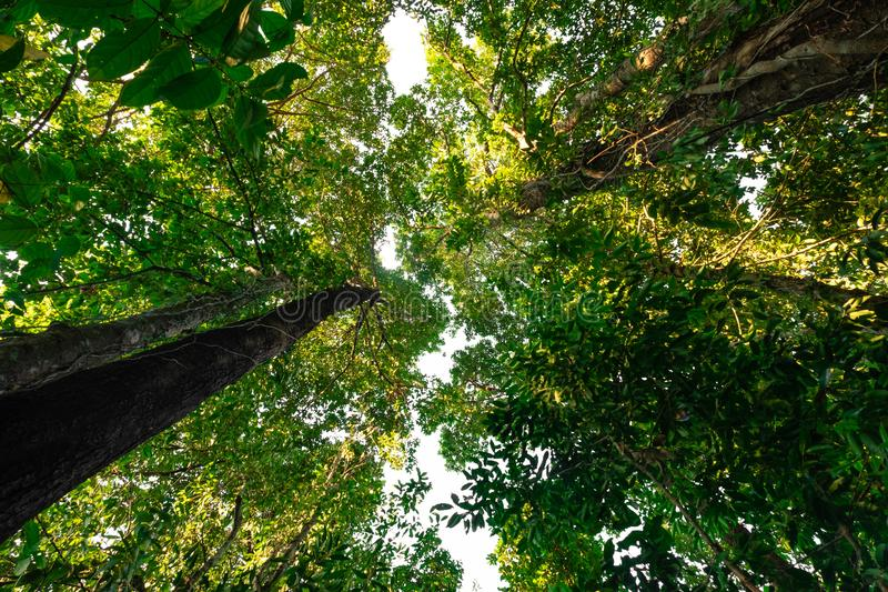 Bottom view of  tree in jungle and lighting of morning.forest and environment concept. Adventurebackgroundbeautifulbigblurredbottom viewbottom forestbottom stock photo