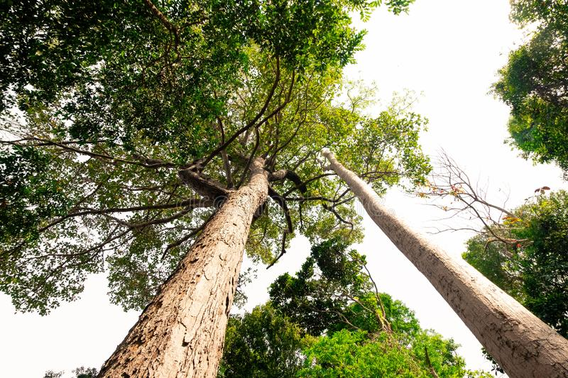 Bottom view of  tree in jungle and lighting of morning.forest and environment concept. Adventurebackgroundbeautifulbigblurredbottom viewbottom forestbottom stock photography