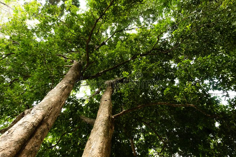 Bottom view of  tree in jungle and lighting of morning.forest and environment concept. Adventurebackgroundbeautifulbigblurredbottom viewbottom forestbottom royalty free stock photos