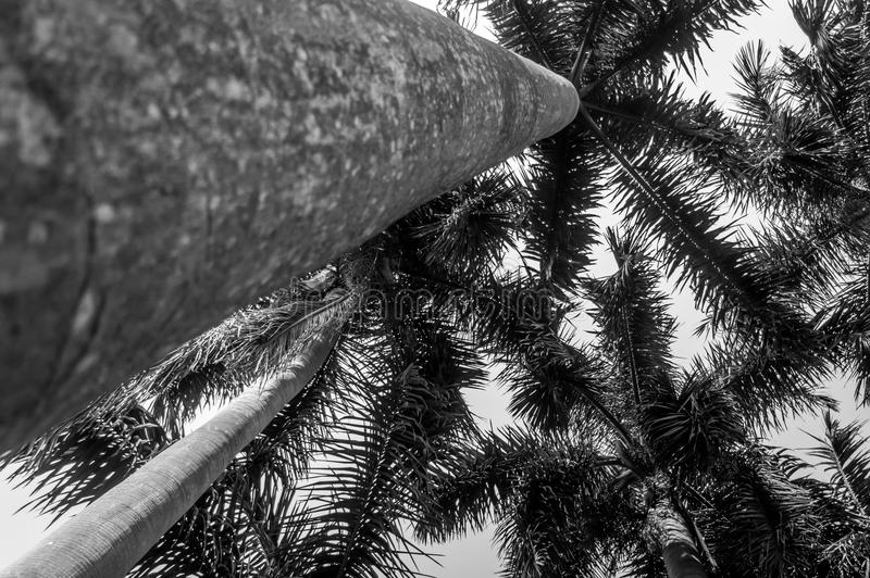 Bottom view under palm tree raise on clear sky stock photography