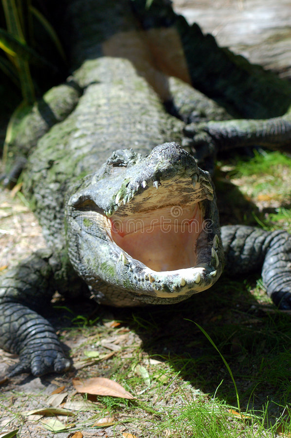 Bouche d'alligator image stock