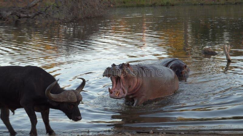 Bouche d'hippopotame de Kruger ouverte images stock