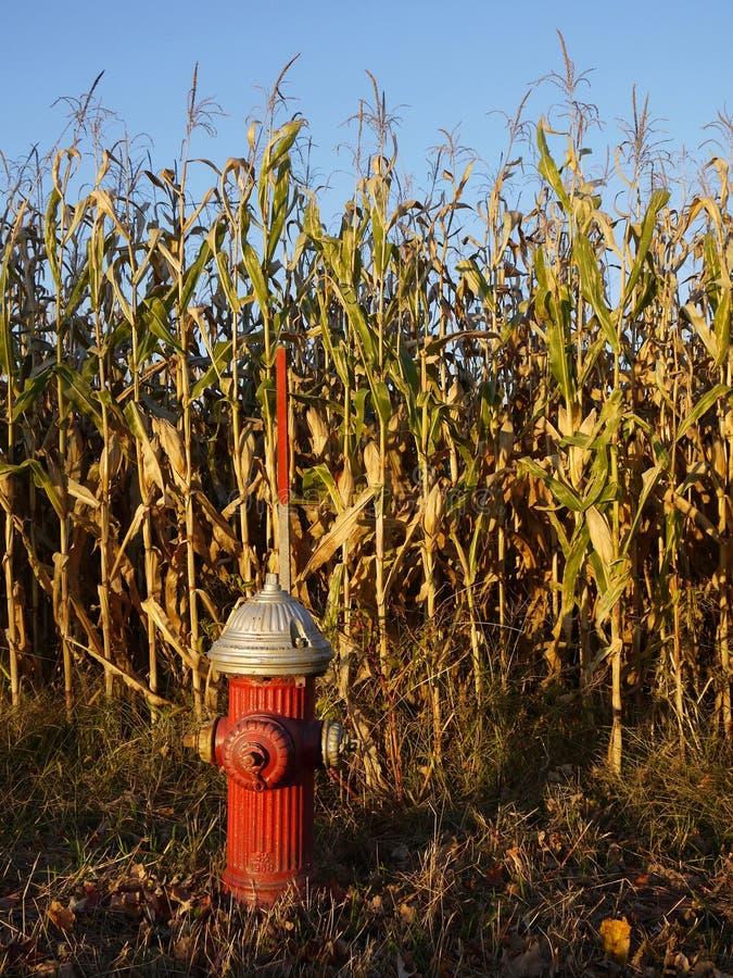 Bouche d'incendie dans le champ de maïs sunlit images stock