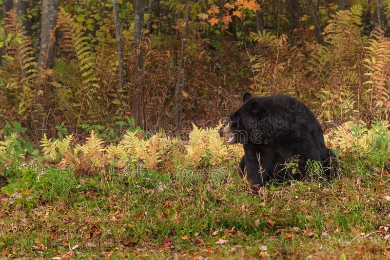 Bouche d'ours noir de femelle adulte (Ursus américanus) ouverte photo stock