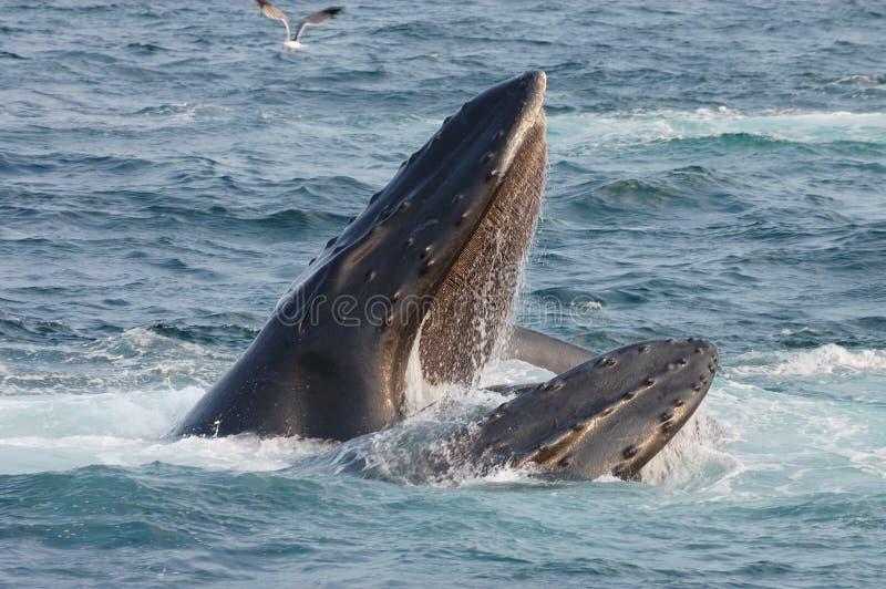 Bouche d'ouverture de baleine de bosse images libres de droits