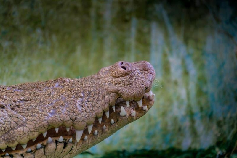 Bouche du crocodile blanc dans le zoo images libres de droits