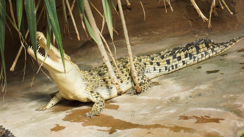 Bouche ouverte de crocodile d'eau salée photos libres de droits